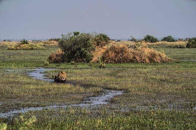 Following the lionesses who have been hunting lechwe in the swamps of Duba Plains. There's no way to avoid getting wet but he can make things easier for himself by sticking to a hippo trail which has cleared a path through the aquatic vegetation. #okavangolions #dubaplains #thisismytrophy #tsaropride #wetcat