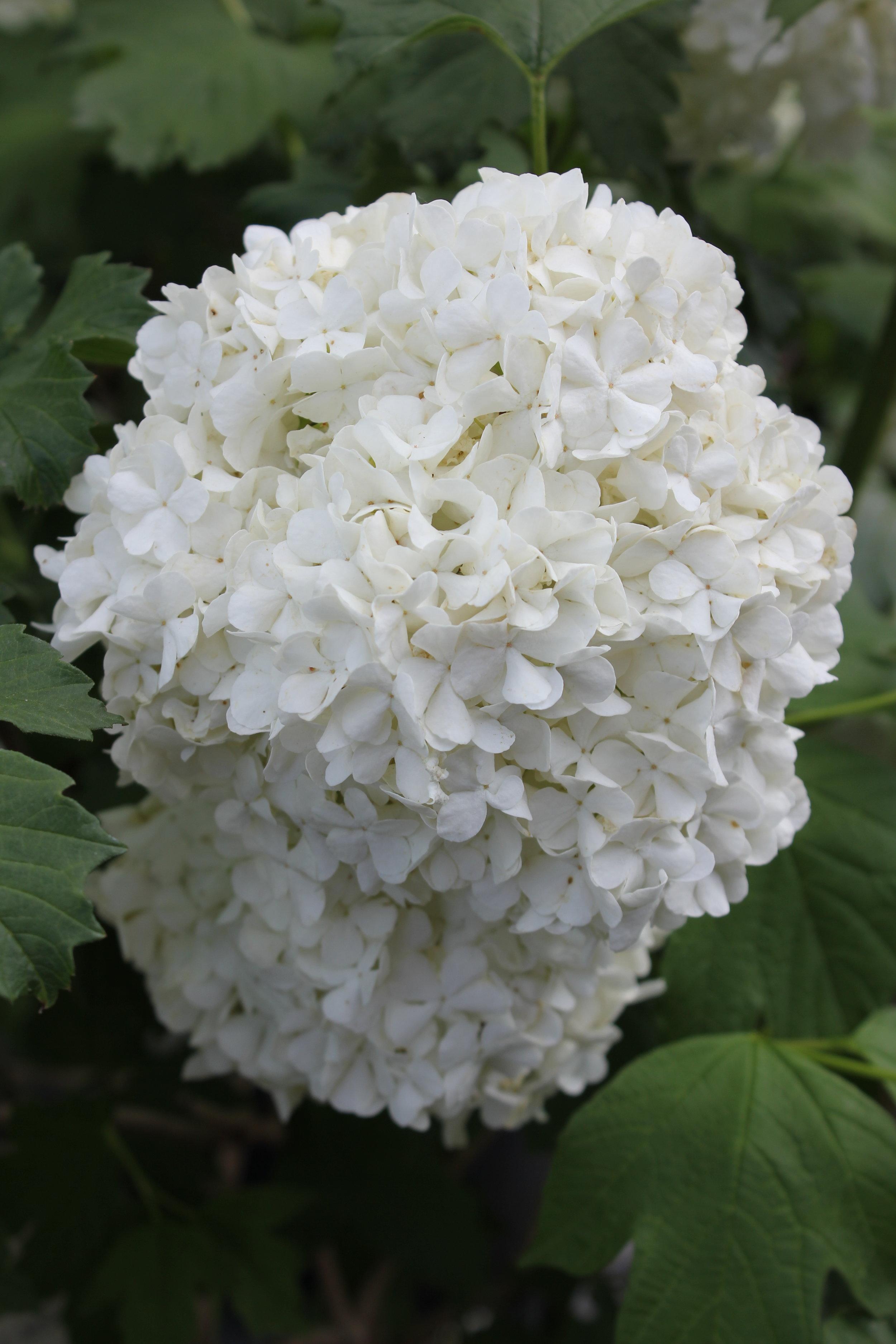 An annabelle hydrangea bloom