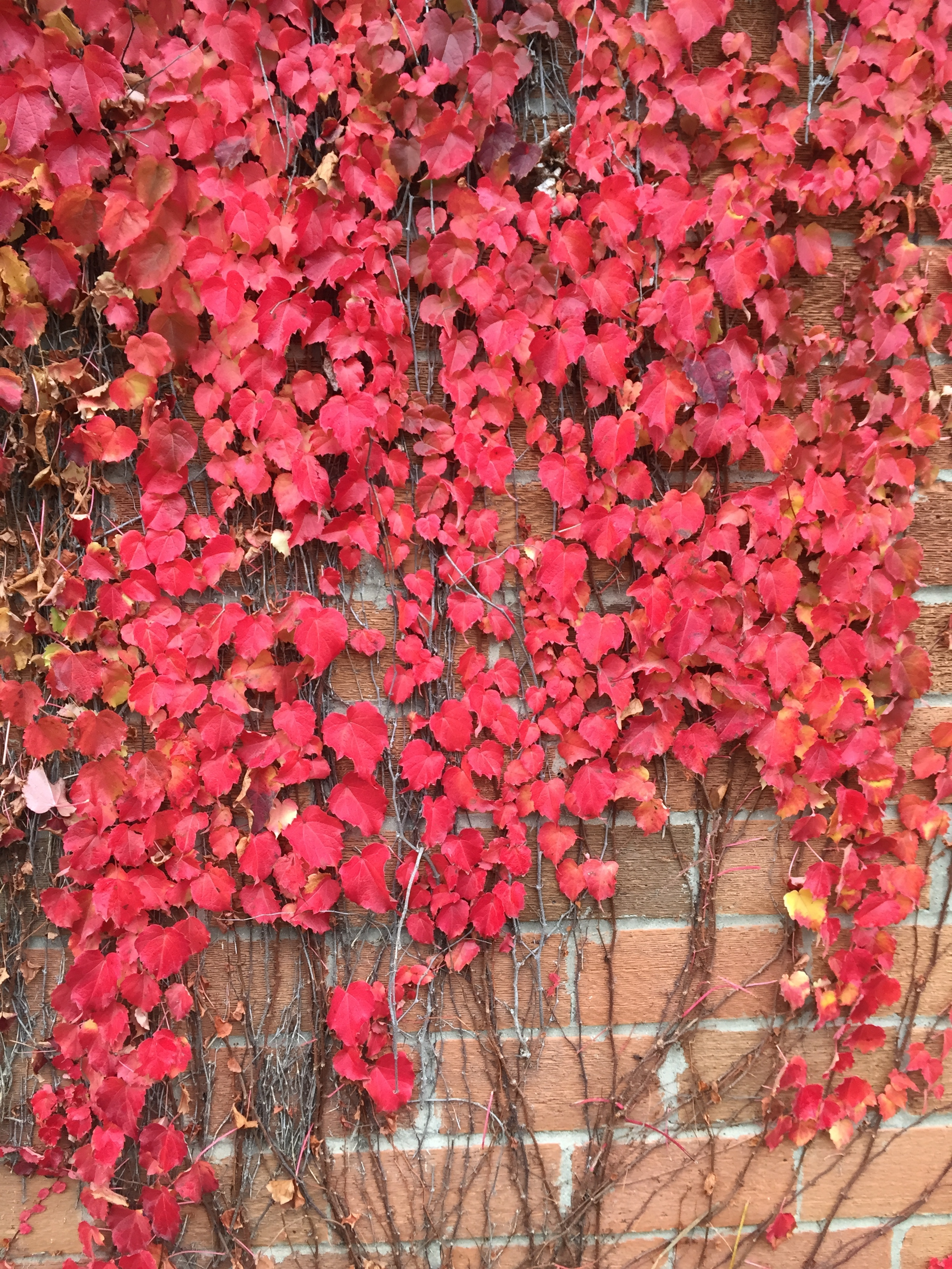 Boston Ivy on the small brick building at Natural Plus