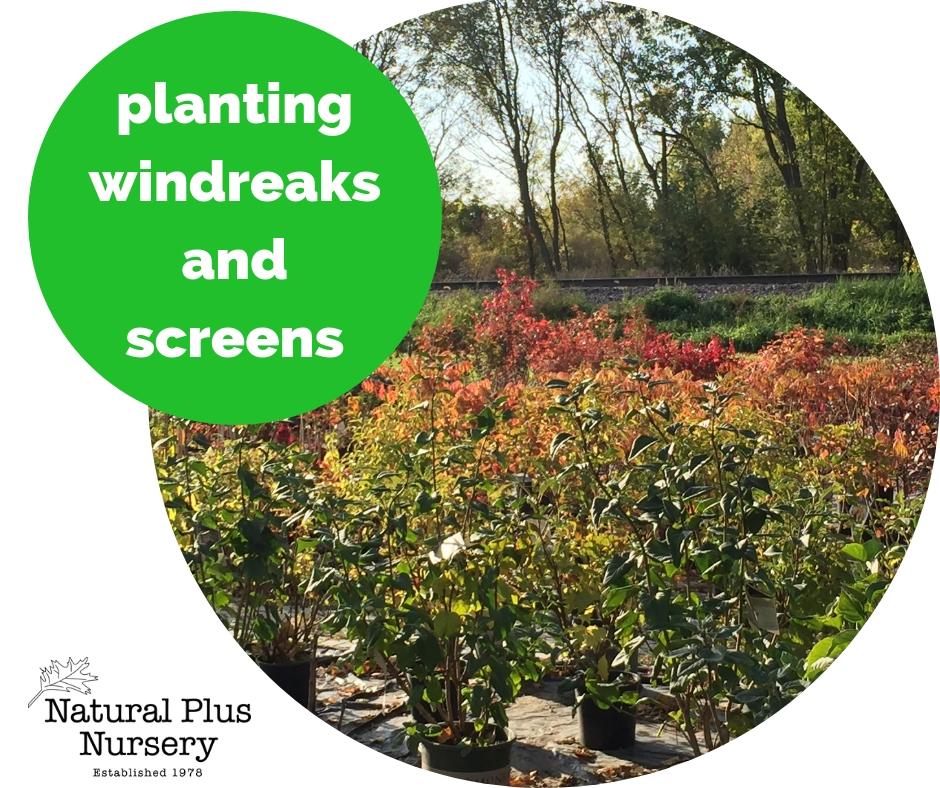 planting windbreaks and screens