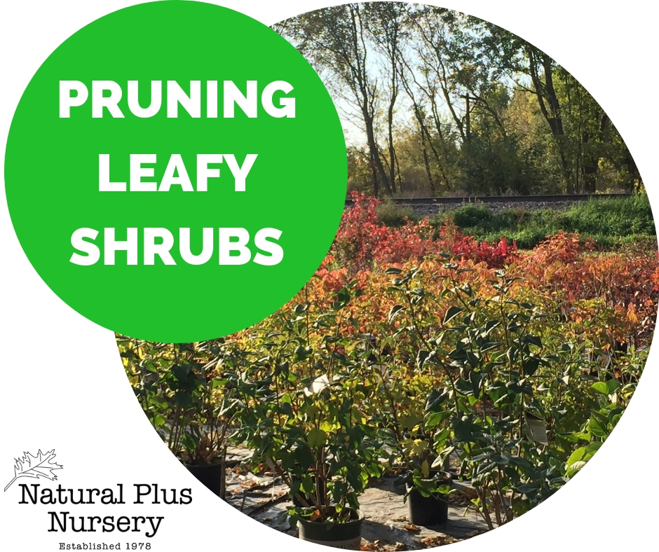 Pruning Leafy Shrubs