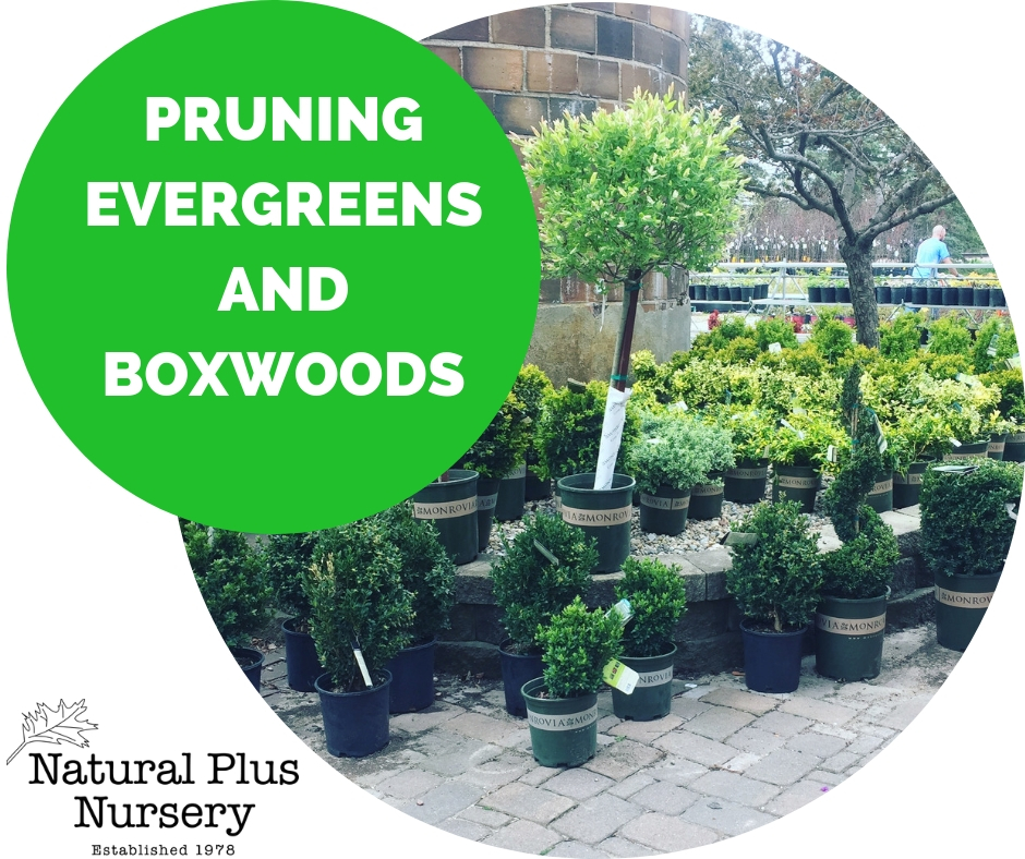 PRUNING EVERGREENS AND BOXWOOD.jpg