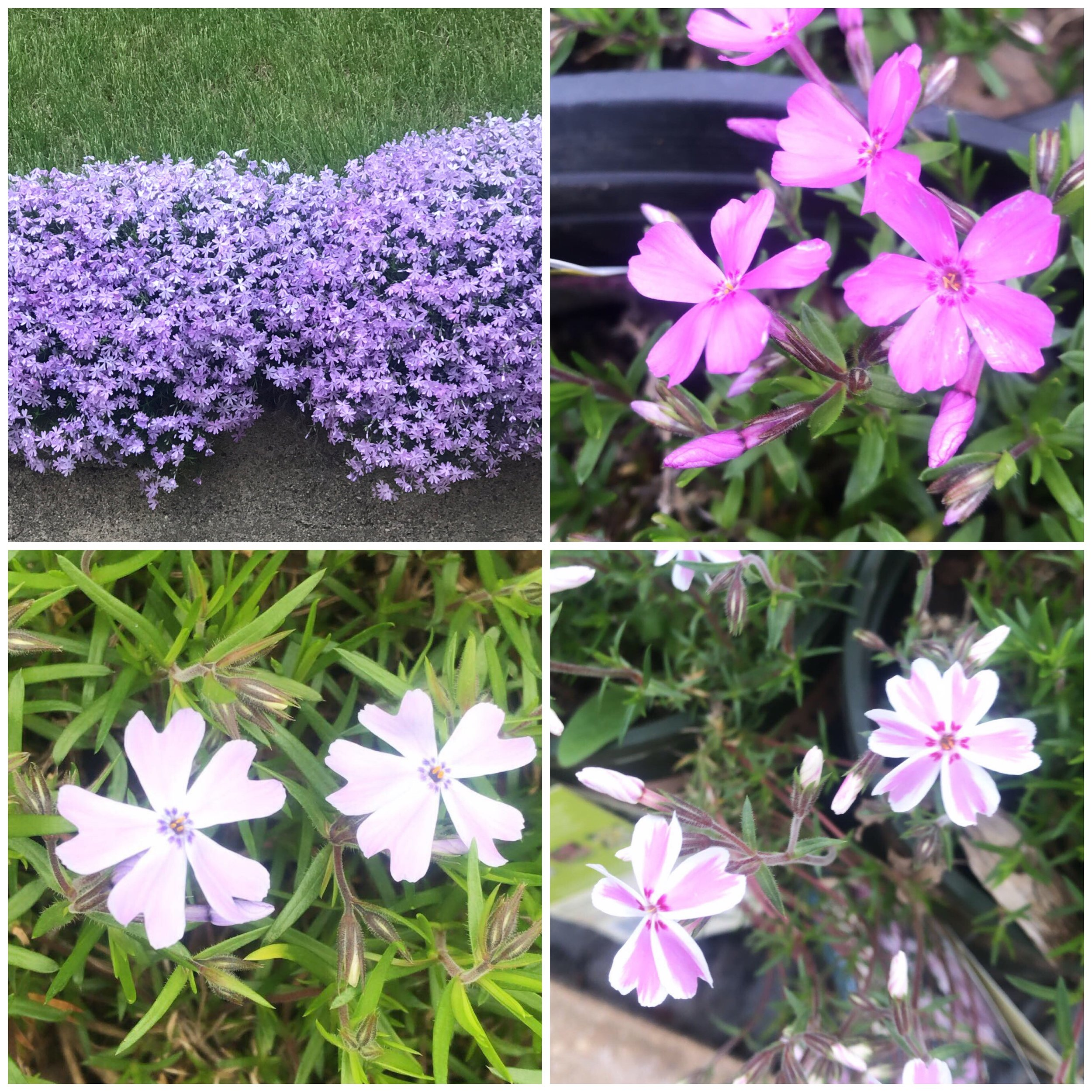 First up, creeping phlox. The top left picture was taken on Main Street in Clear Lake. They are putting on quite the show right now!
