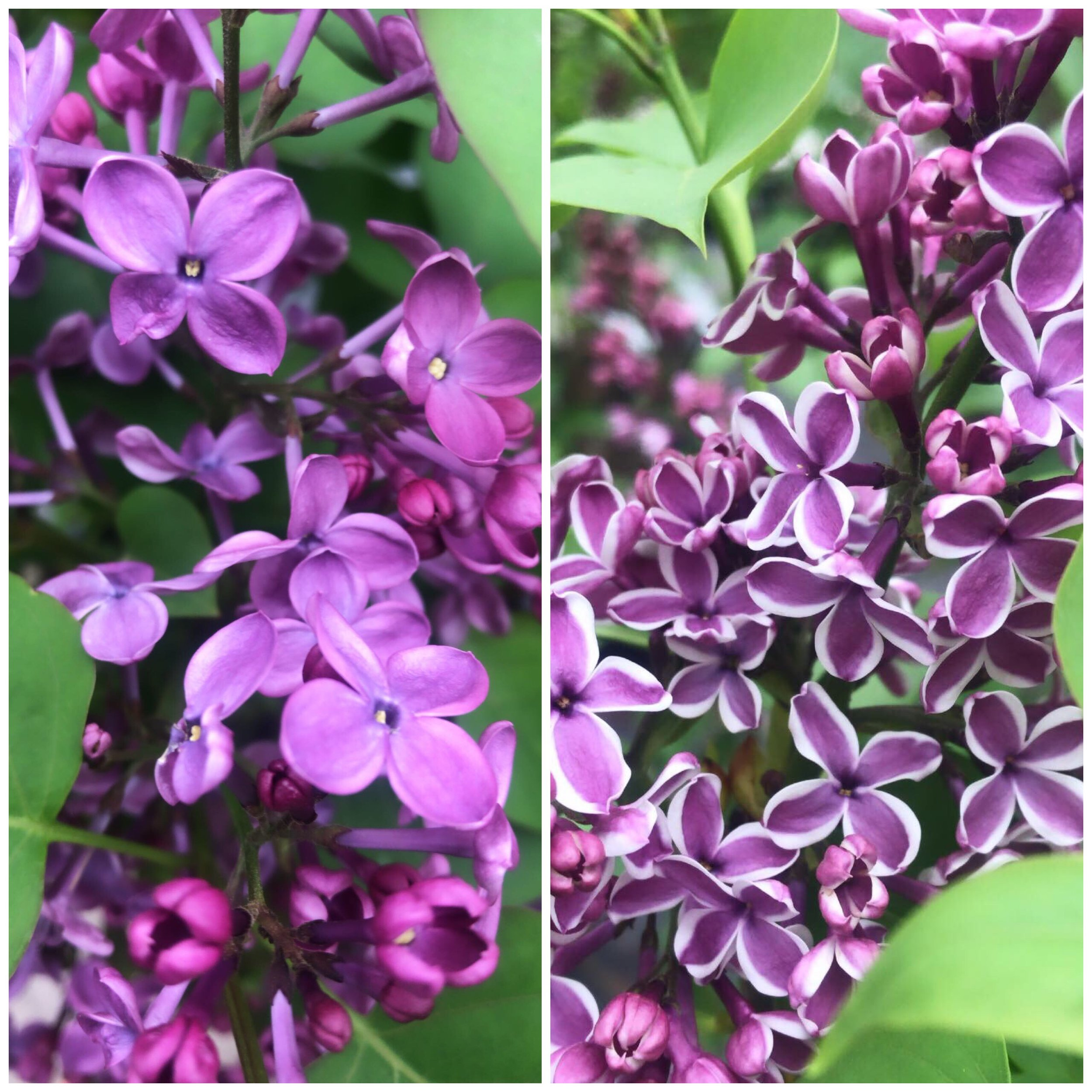 Lilacs are blooming! And they smell so good! Want to add some fragrance to your landscape? Here's an article to get you started  HERE