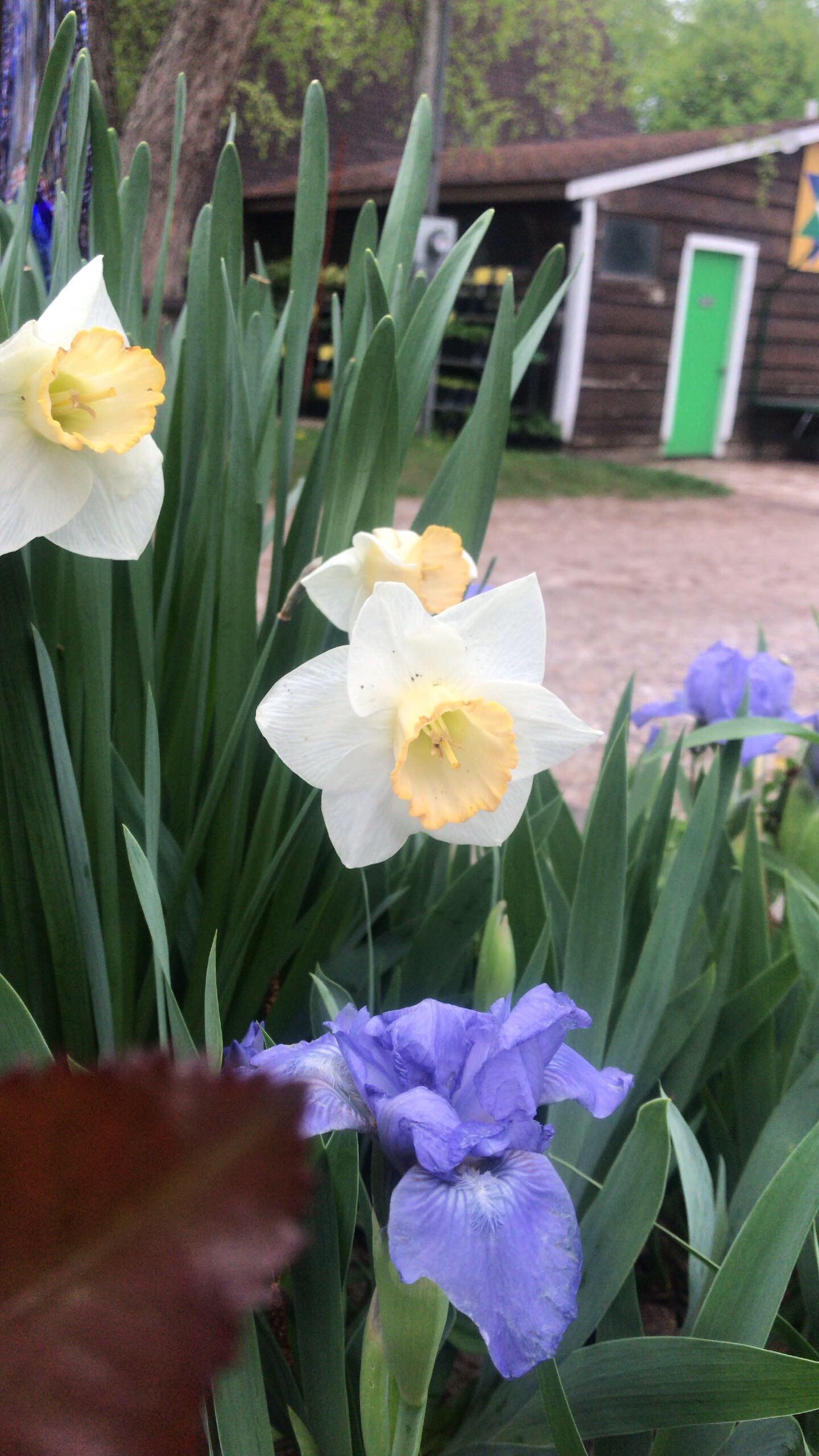Daffodils and irises make a lovely combination.
