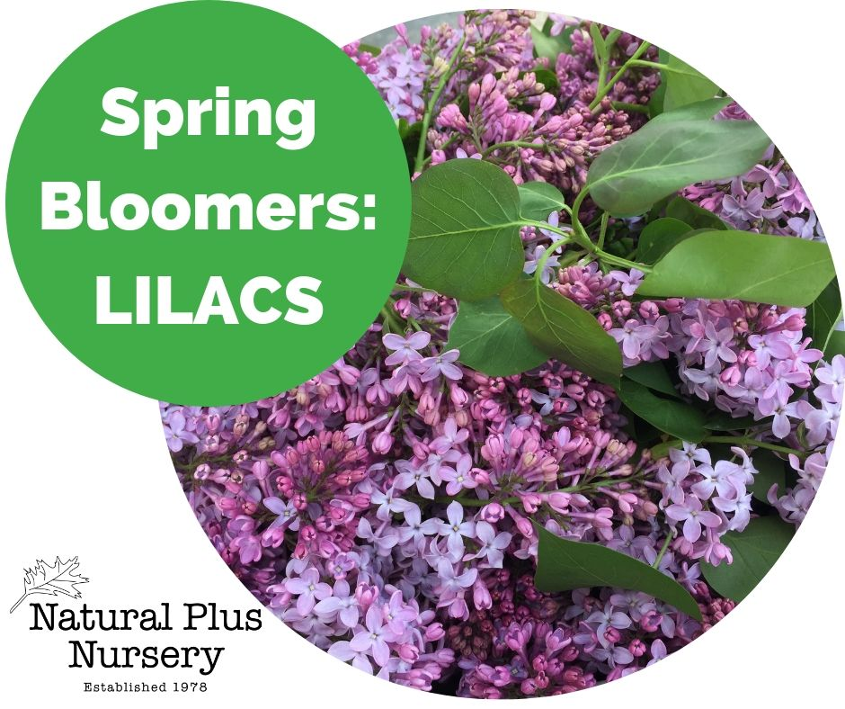 Spring Bloomers_ Lilac.jpg