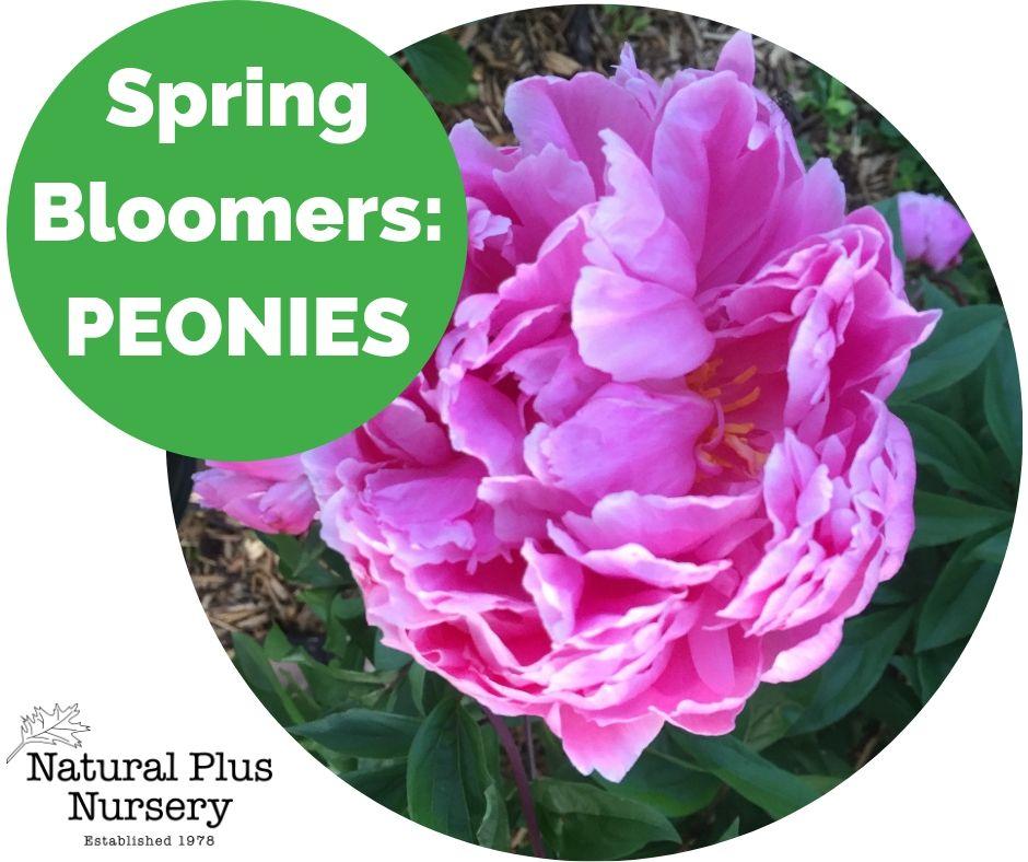 Spring Bloomers_ PEONIES.jpg