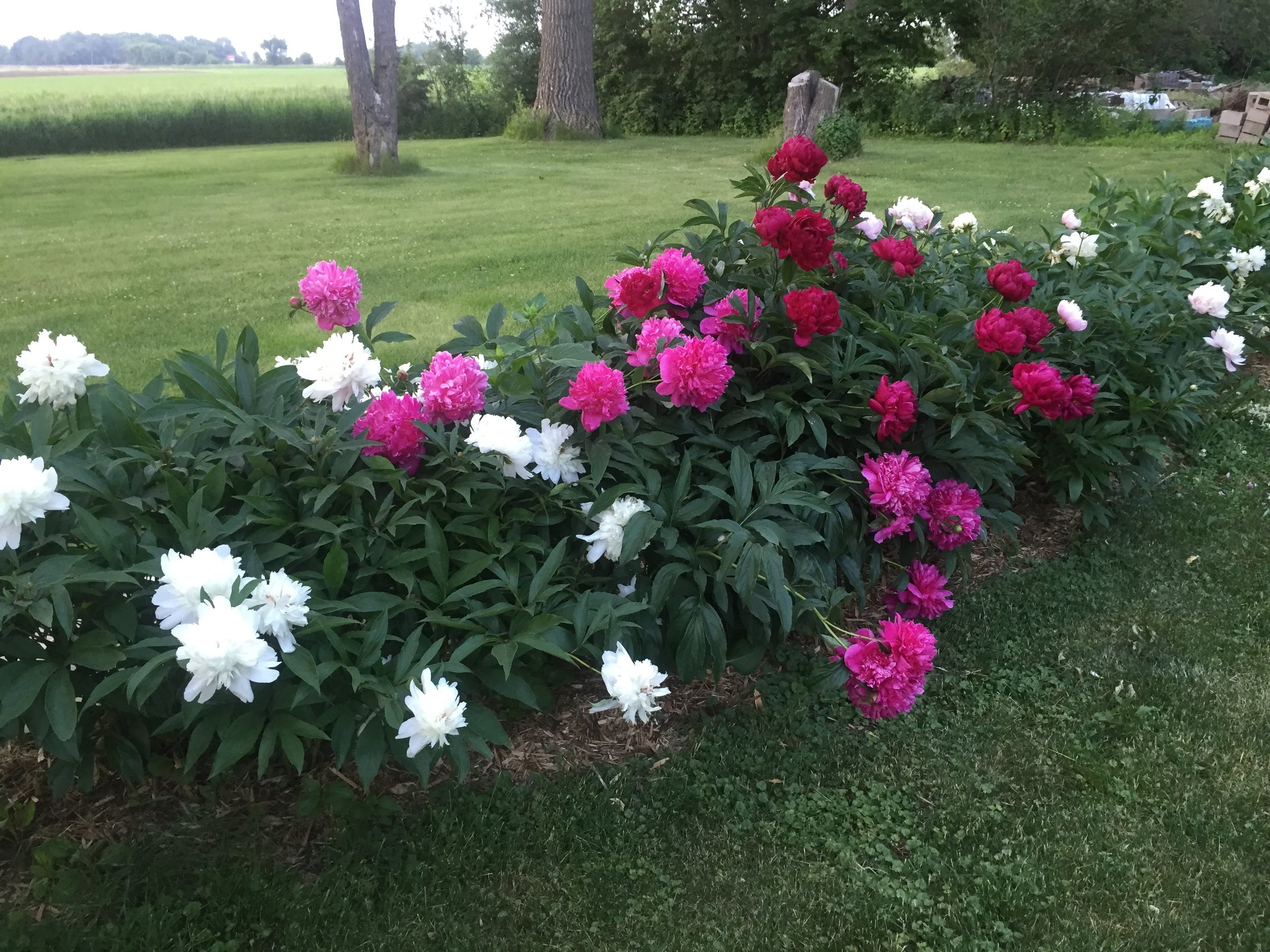 The row of peonies in the backyard of our home at Natural Plus Nursery. They are over 50 years old.
