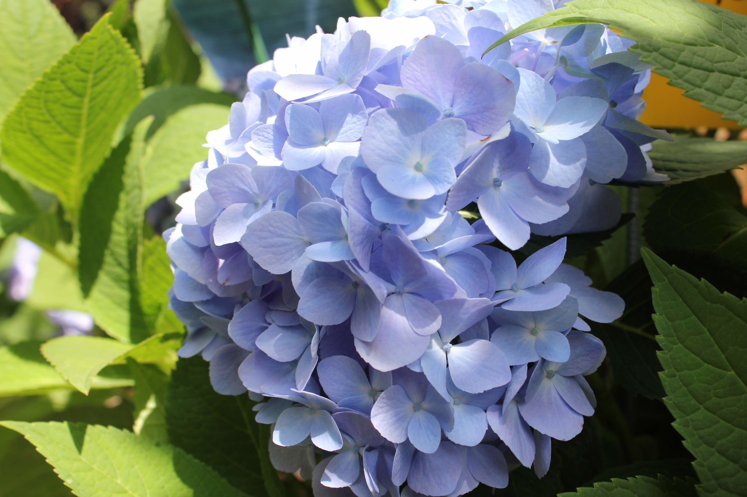 An endless summer hydrangea bloom