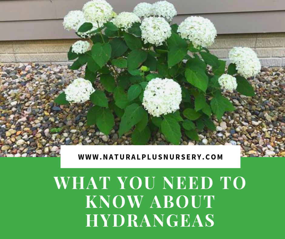 WHAT YOU NEED TO KNOW ABOUT HYDRANGEAS.png