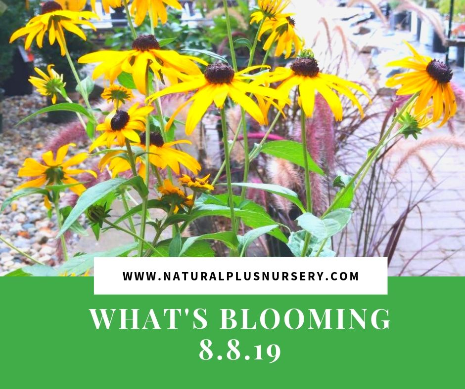 What's Blooming 8.8.19