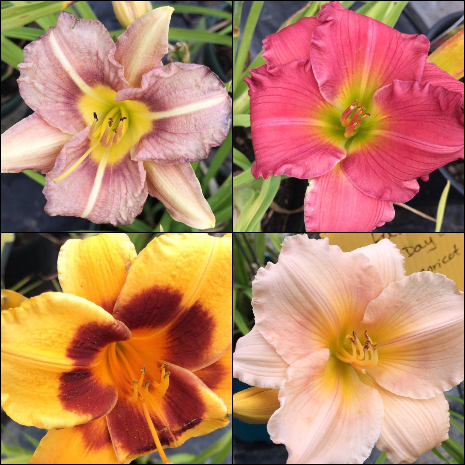 Many varieties of daylilies available at Natural Plus Nursery
