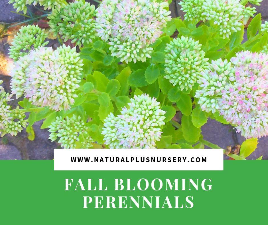 fall blooming perennials.jpg