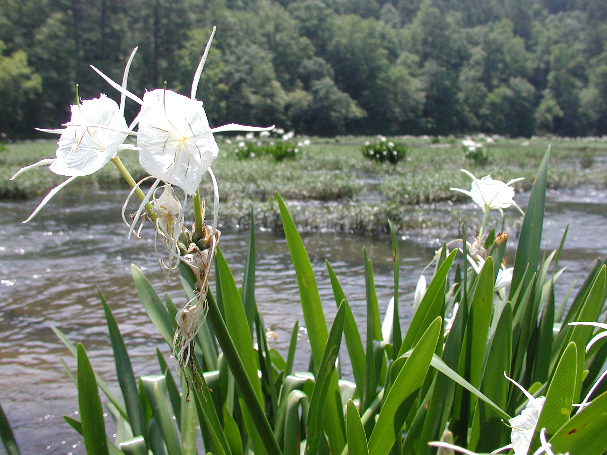 Cahaba Lillies in bloom. Image from Carmichael Library via Wikimedia Commons.