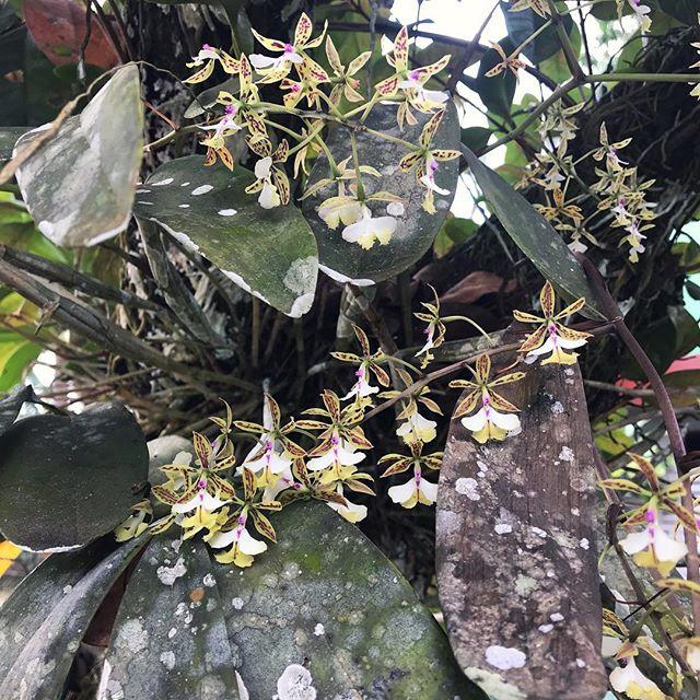 Blooooooomin' Orchid at Monkey Bay. Epidendrum Stamfordianum 😘 . . . #epidendrumstamfordianum #orchids #belize