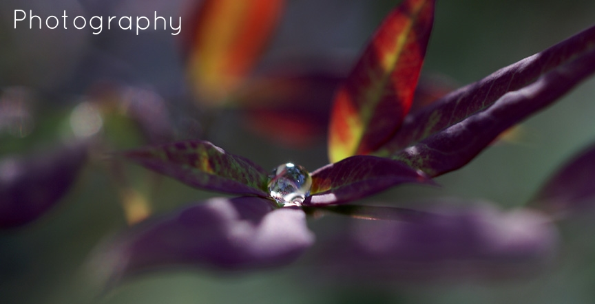 Spherical droplet on tri purple leaf II.jpg