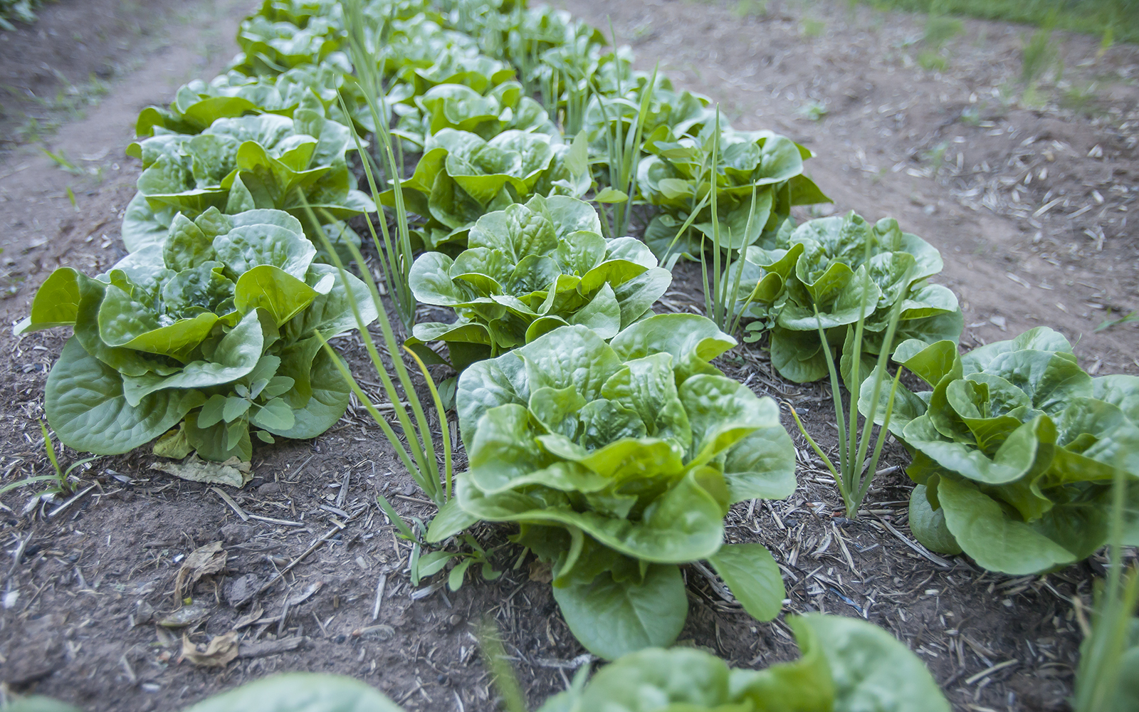 Lettuce interplanted with onions–Defiant Field Farmstead 2016