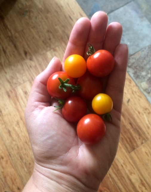 Teaser for next week: the first few tomatoes are ripening up! We should have them available for sale next week. Stay tuned.