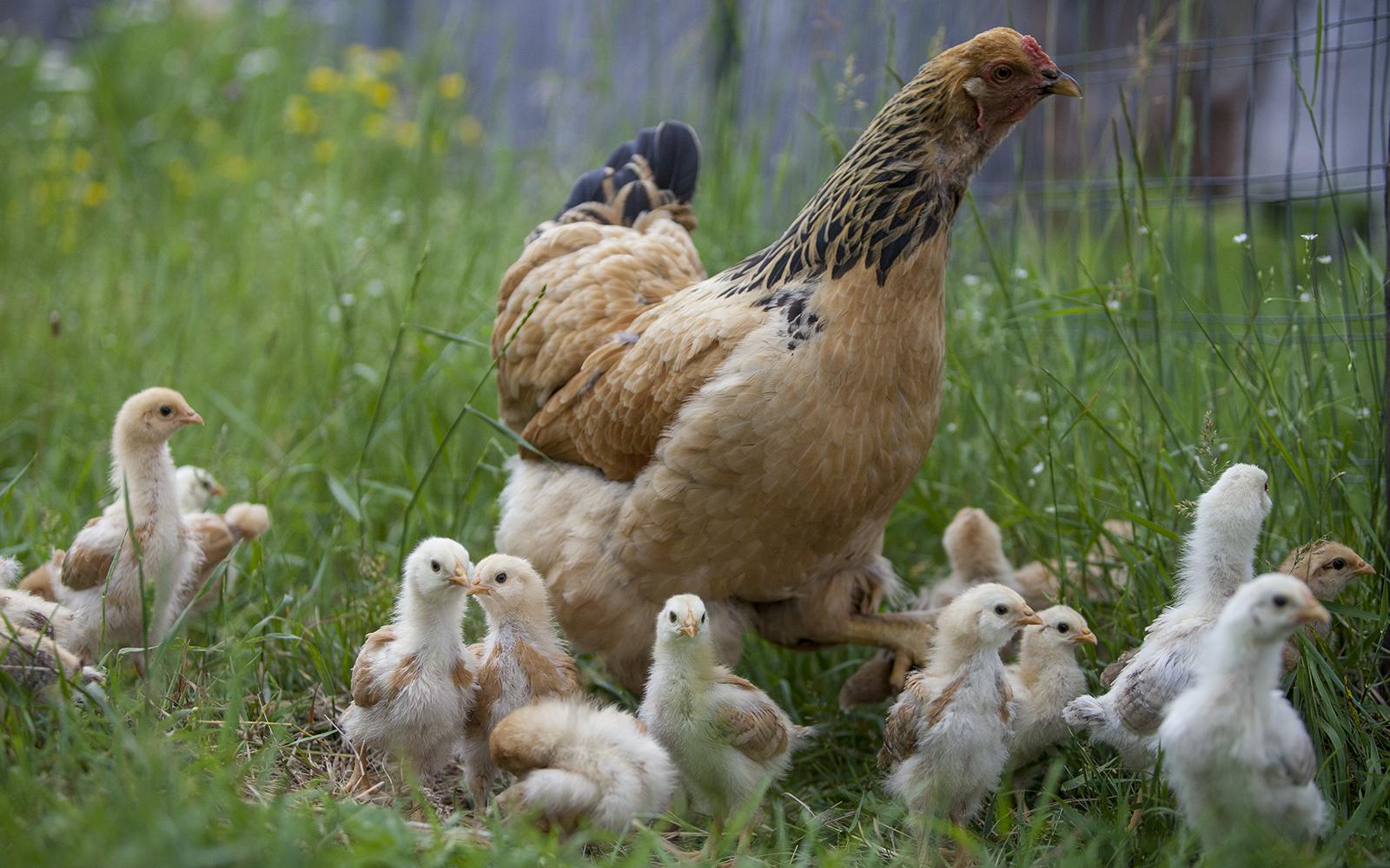 chicks-hen.jpg