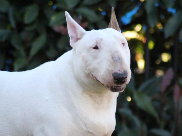 Kimmy - FemaleDOB - 23.10.2015Quiet and patient home.Can be rehomed with Adopt a bull Tori or a male companion.Hunter Region NSW
