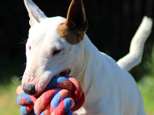 Lilly - Female (small)DOB - 29.01.2016Single pet home or submissive maleNo KidsHunter Region NSW