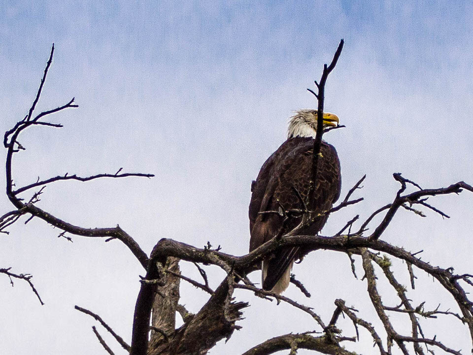 Eagle (1 of 1).jpg