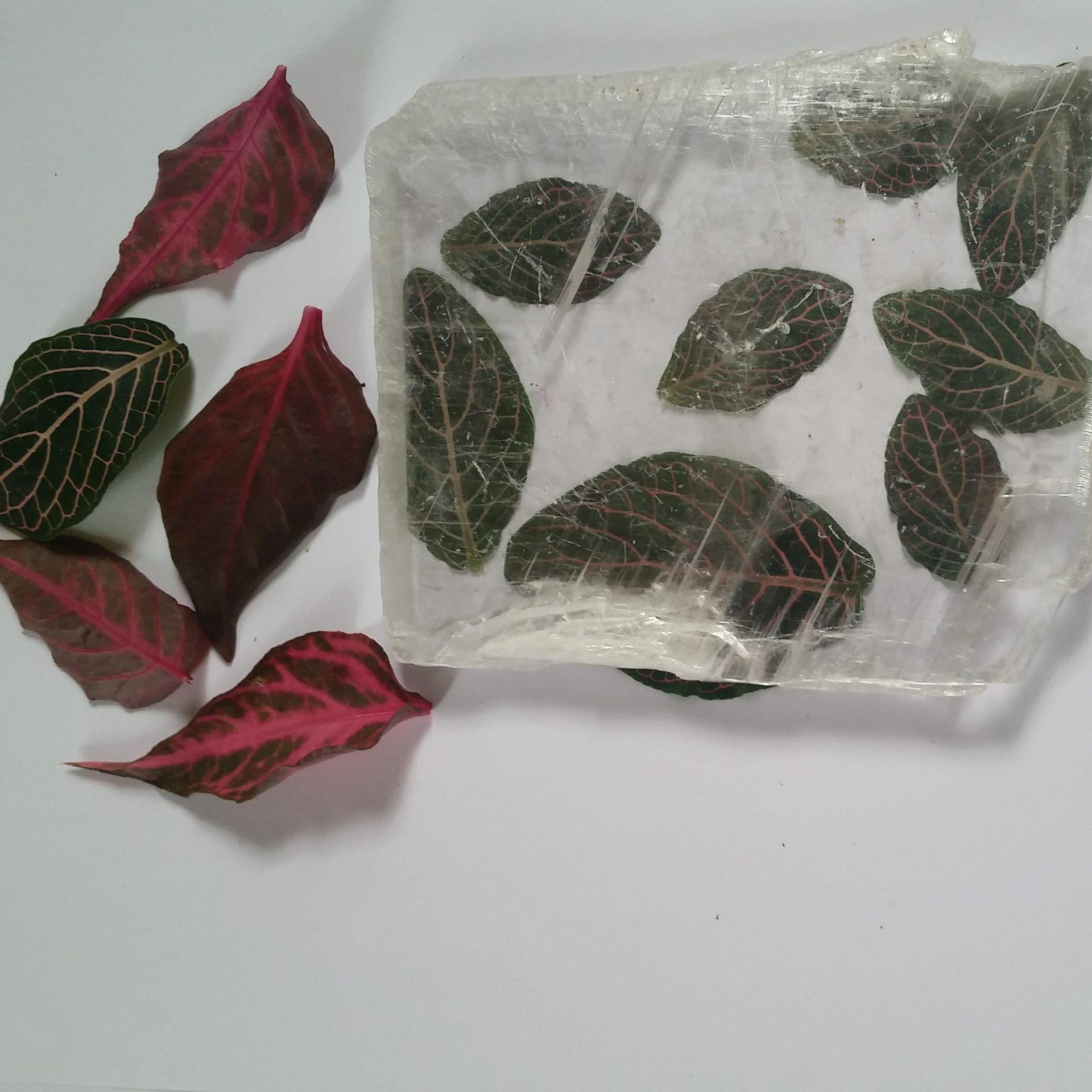 Fittonia Leaves (native to Peru)