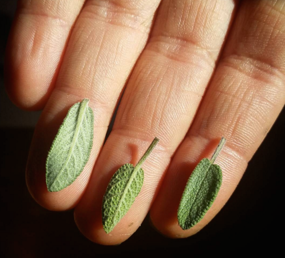 Baby Sage Leaves.png