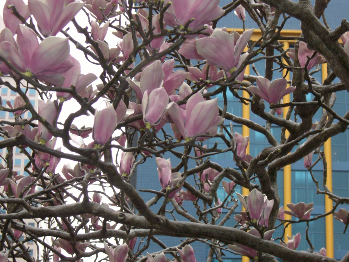 Magnolias for Pittsburgh