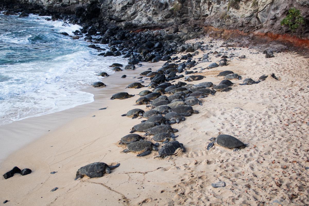 Over 40 sea turtles at Ho'okipa Beach!