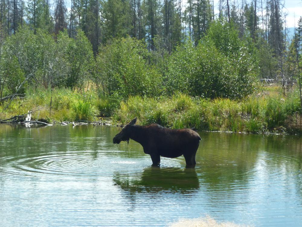 A moose at Moose, Wyoming!