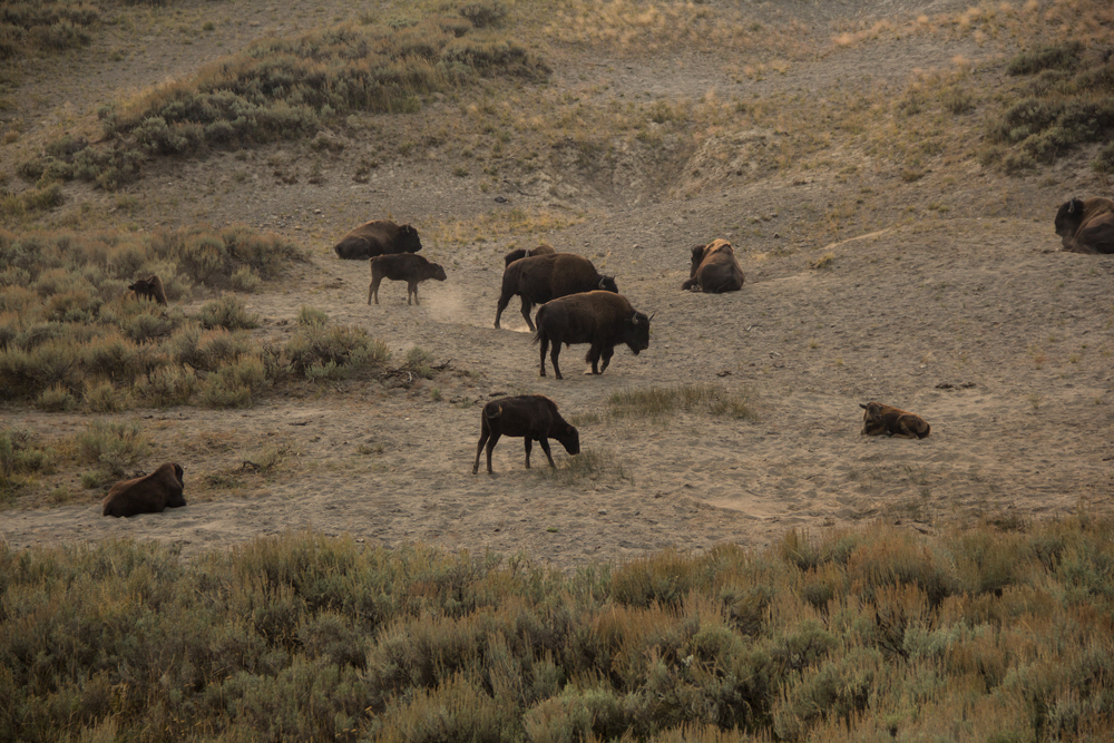 Bison in Yellowstone - we saw a ton that filled a field!