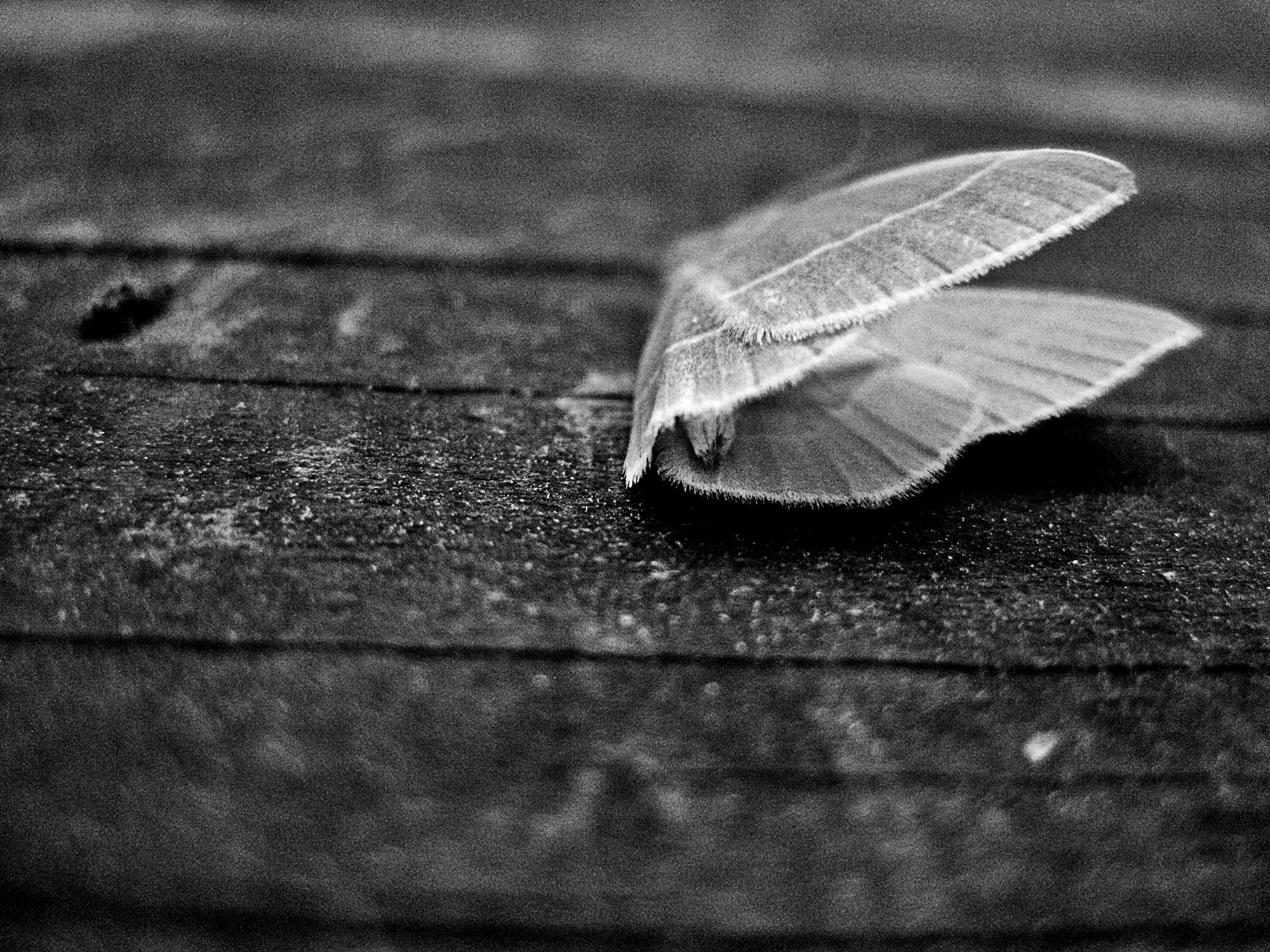 A moth covered in morning due is found lying dead on porch after landing on toxic liquid..jpg