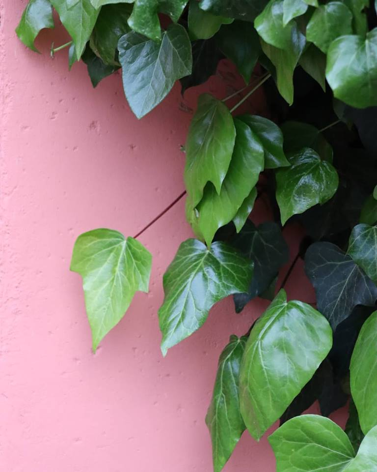 pink wall plants