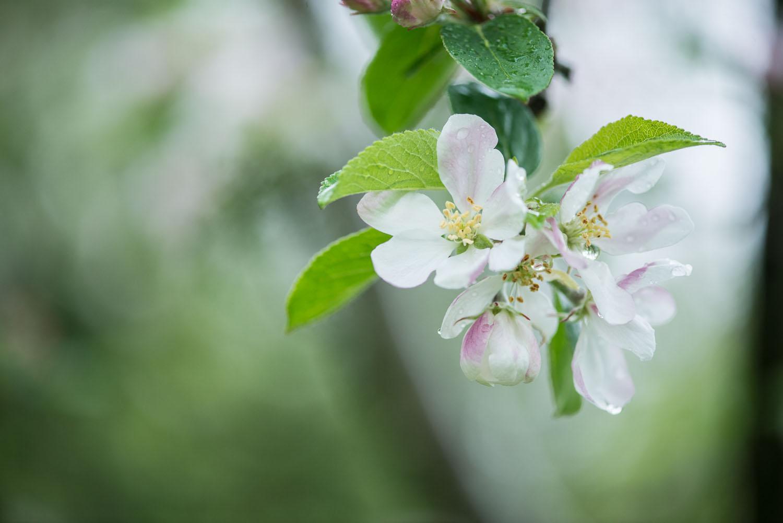 Capreolus-distillery-Eaux-Eau-De-Vie-Gin-Schnapps-Brandy-Brandies-Vies-production-fruit-distilling-garden-tiger-botanicals-plants-fruit-fruits-010.jpg