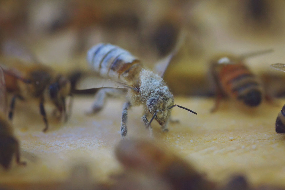 6361c-hive_varroa_7.jpg