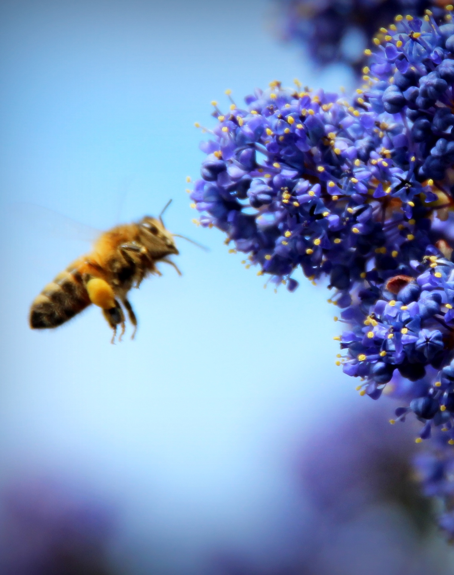 Blue Bee.jpg