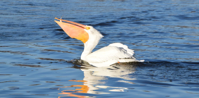 Pelican_KyleRitchie_1500-60.png