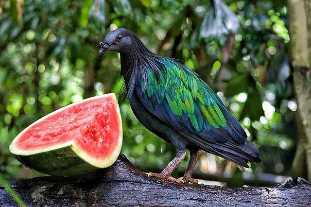 Ft: Watermelon pigeon. #watermelon #thailand #pigeon #nicobarpigeon