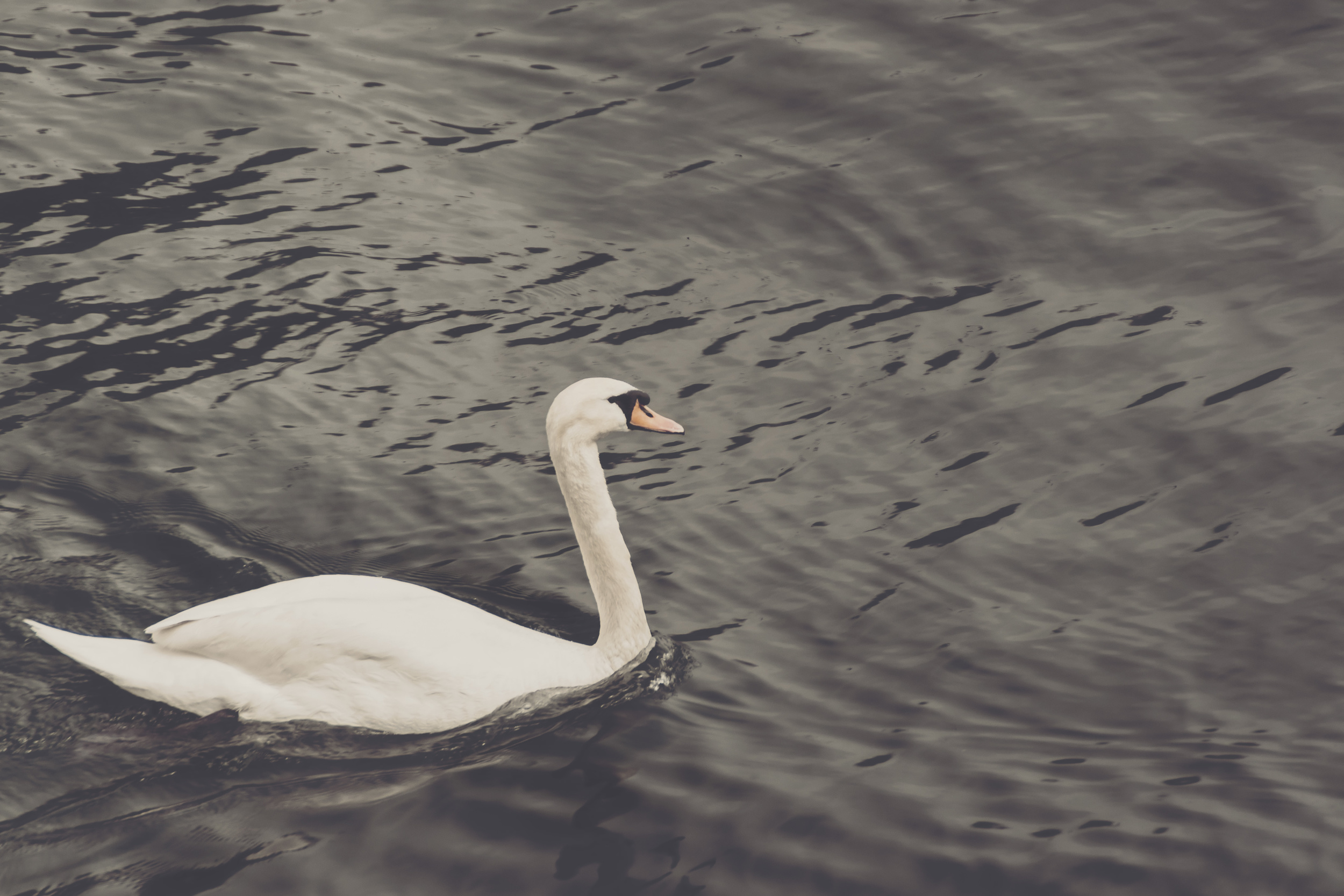 Swan at the historic boathouse.