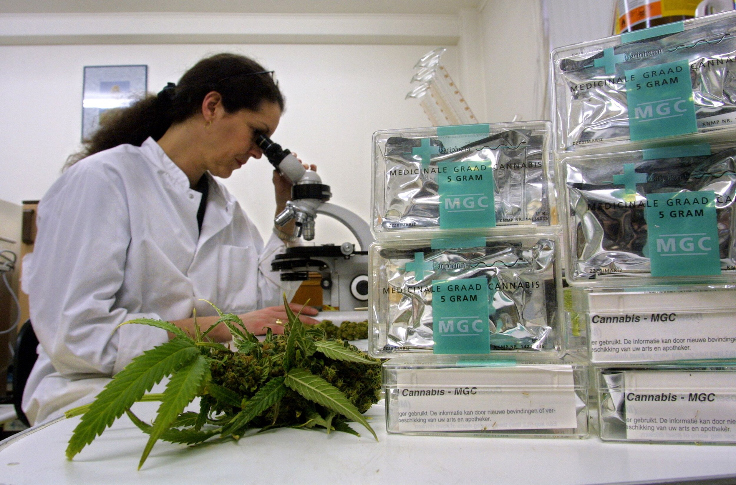Assistant studies marijuana in the Maripharma Laboratory in Rotterdam, Netherlands. MICHEL PORRO/   GETTY IMAGES