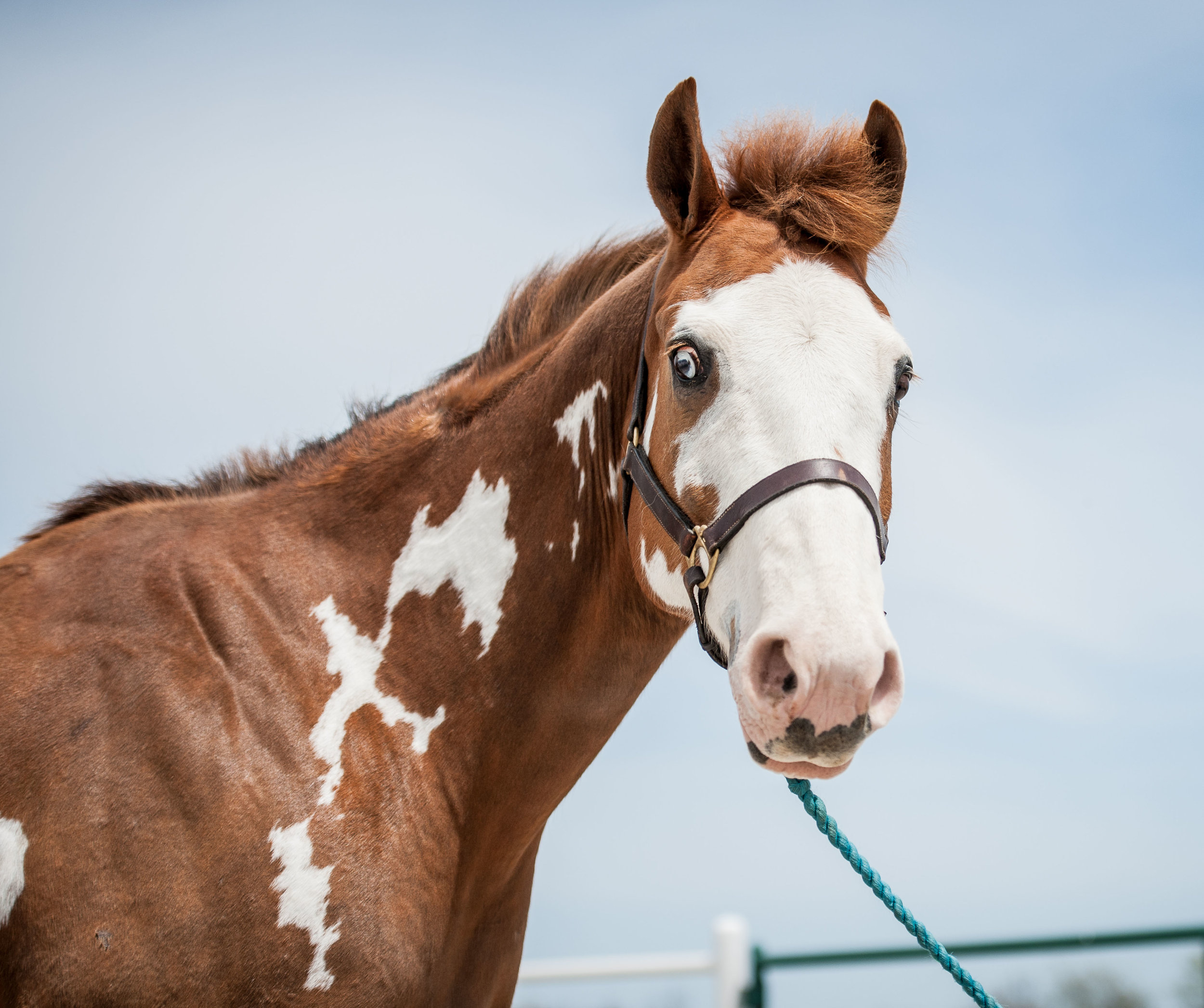 Hunter      11 yr old chestnut and white Paint gelding      Sponsor: Nick & Connie White