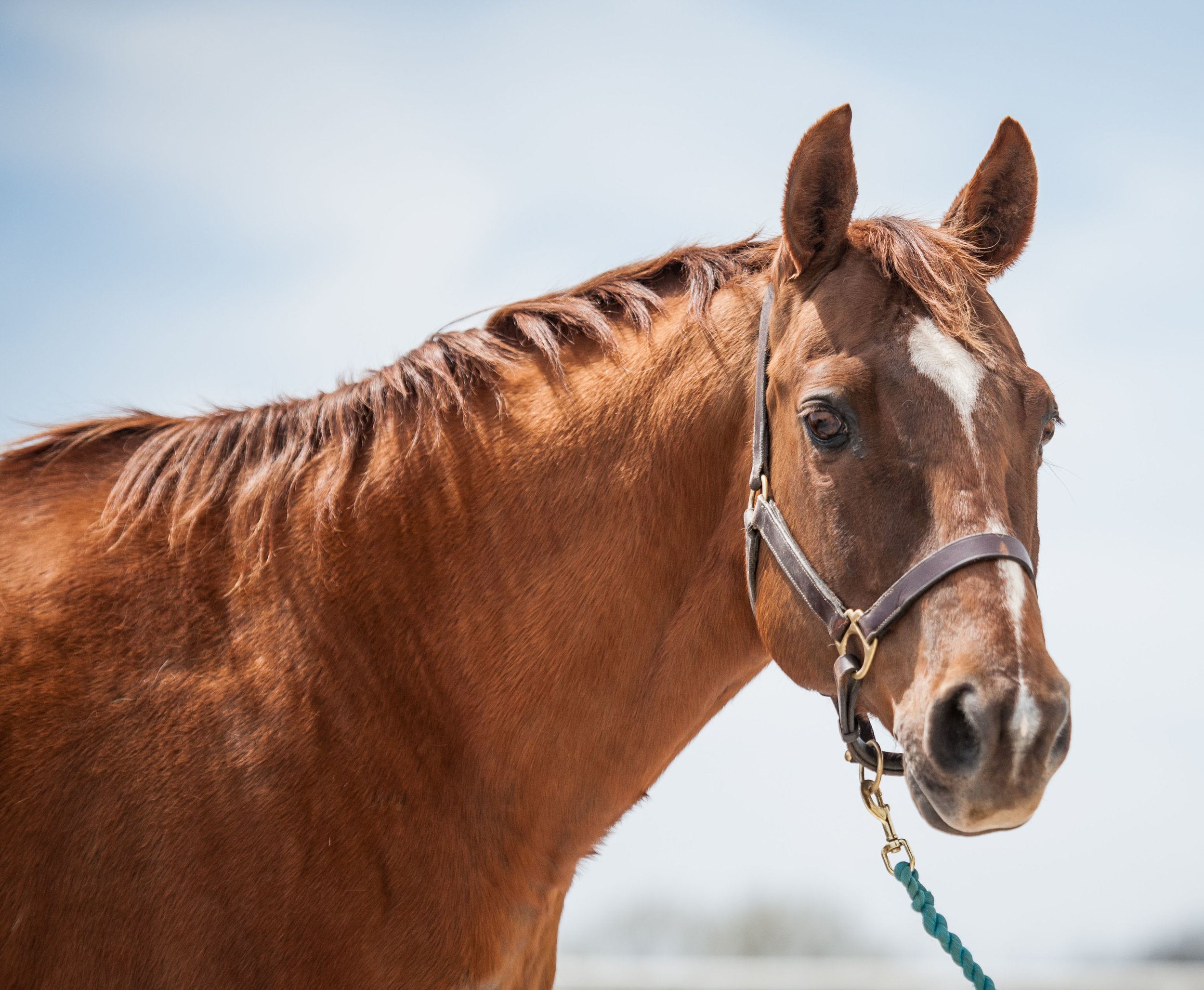 Junior      19 yr old Quarter Horse gelding