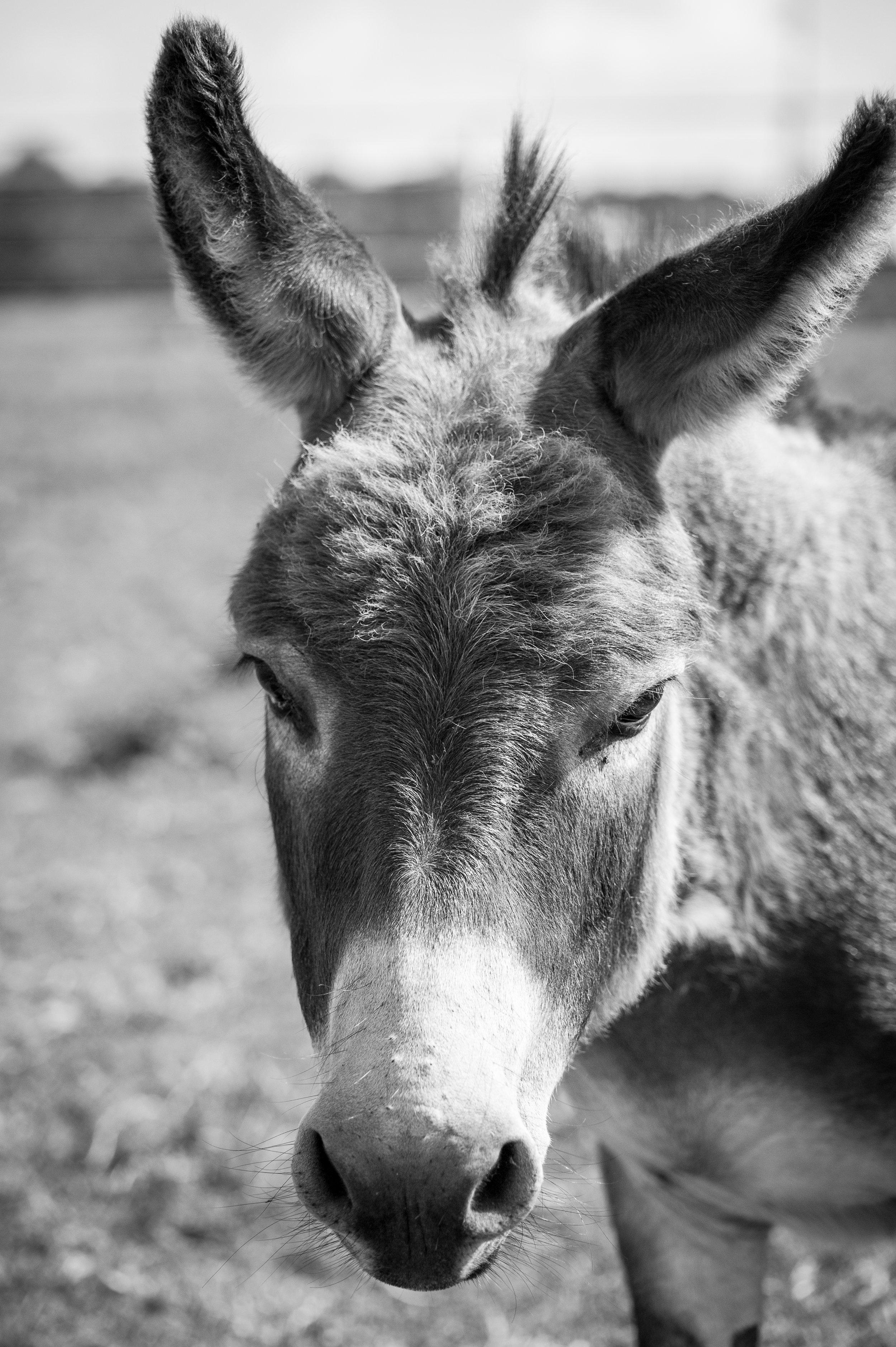 Mojo – 13 year old Donkey gelding      Please Sponsor Me !!!