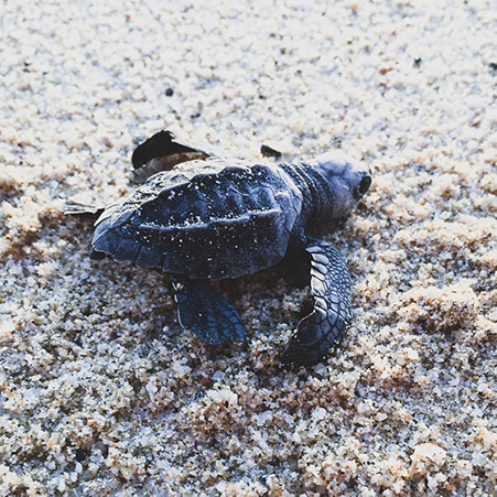 Baby_Sea_Turtle_World Environment_Day_2018@0,75x.jpg