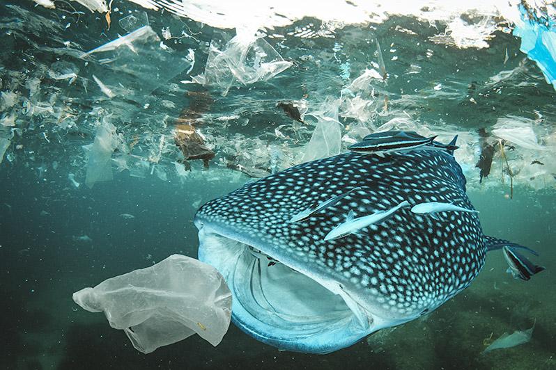 Whale_Shark_Plastic_Bag_Ocean.jpg