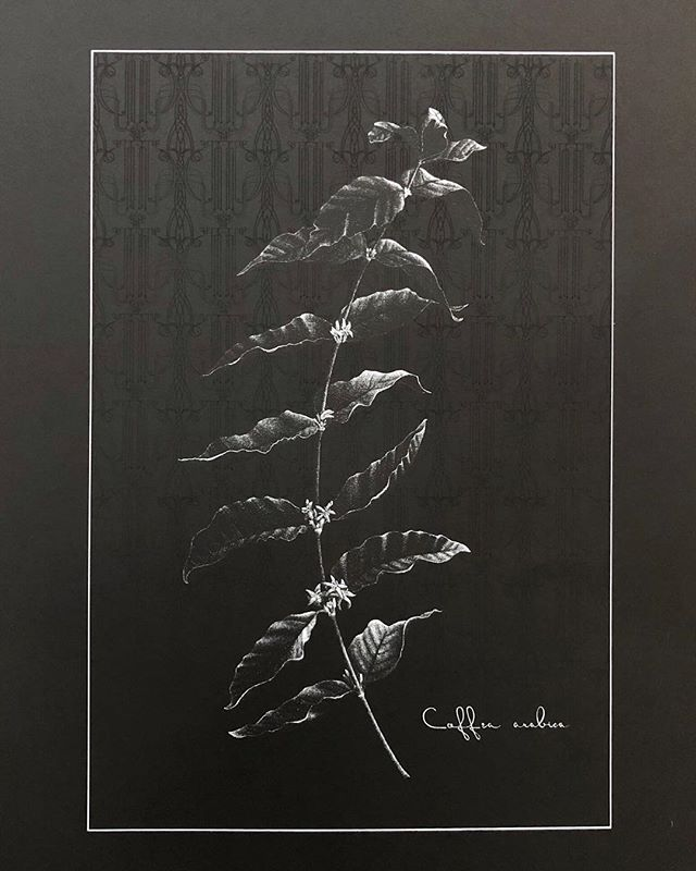 Coffea arabica ☕️ ⠀⠀⠀⠀⠀⠀⠀⠀⠀ This is a silkscreened version of the pen and ink original, with the addition of a subtle repeating pattern in the background. ⠀⠀⠀⠀⠀⠀⠀⠀⠀ One of my favorite meta details about this coffee plant print is that it's silk screened on Extract Paper from @gfsmithpapers, which is made from recycled paper coffee cups. They figured out how to remove the plastic lining and recycle into other things (like wire casings), and then turn the paper into pulp to make new paper with. Every sheet contains at least 5 upcycled coffee cups. 🤩🥳 ⠀⠀⠀⠀⠀⠀⠀⠀⠀ Big thanks to the fantastic book #whymaterialsmatter by @ma_tt_er for cluing me into its existence! I'd been looking for a sustainable statement paper to print on and wasn't finding anything that made sense until I read about Extract Papers; it made so much sense to print a coffee plant on coffee cup paper that I couldn't pass up the opportunity. 👌🏼💁🏻‍♀️🤓👯‍♀️ ⠀⠀⠀⠀⠀⠀⠀⠀⠀ P.S. See my post from a couple weeks ago for a closeup of the pattern, and check my stories today for a behind-the-scenes look at part of the [tedious] process to translate this stippled image from pen & ink to silkscreen. 😅 These prints will be available for sale on my website at the end of May!