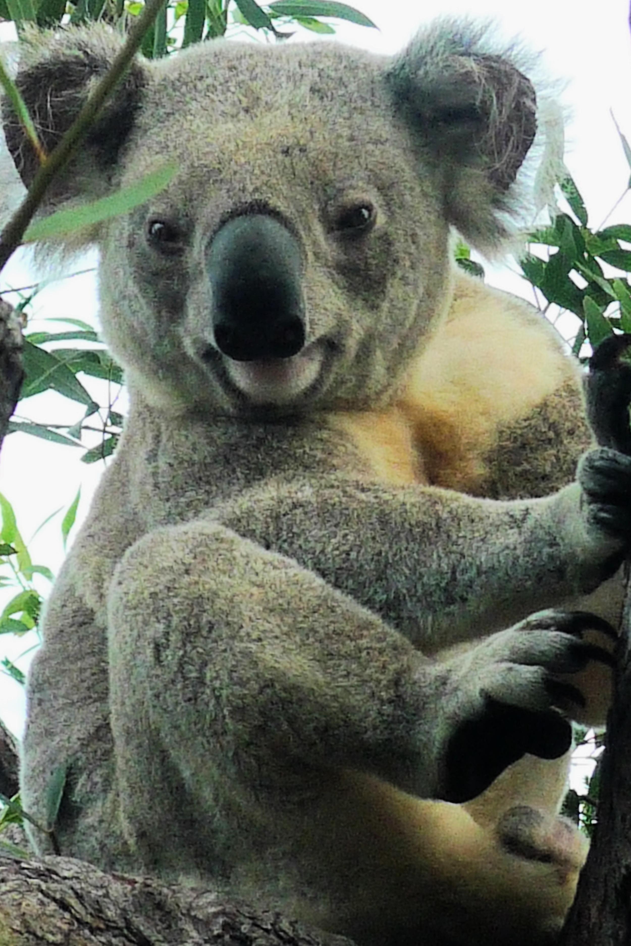 Aussie Koala