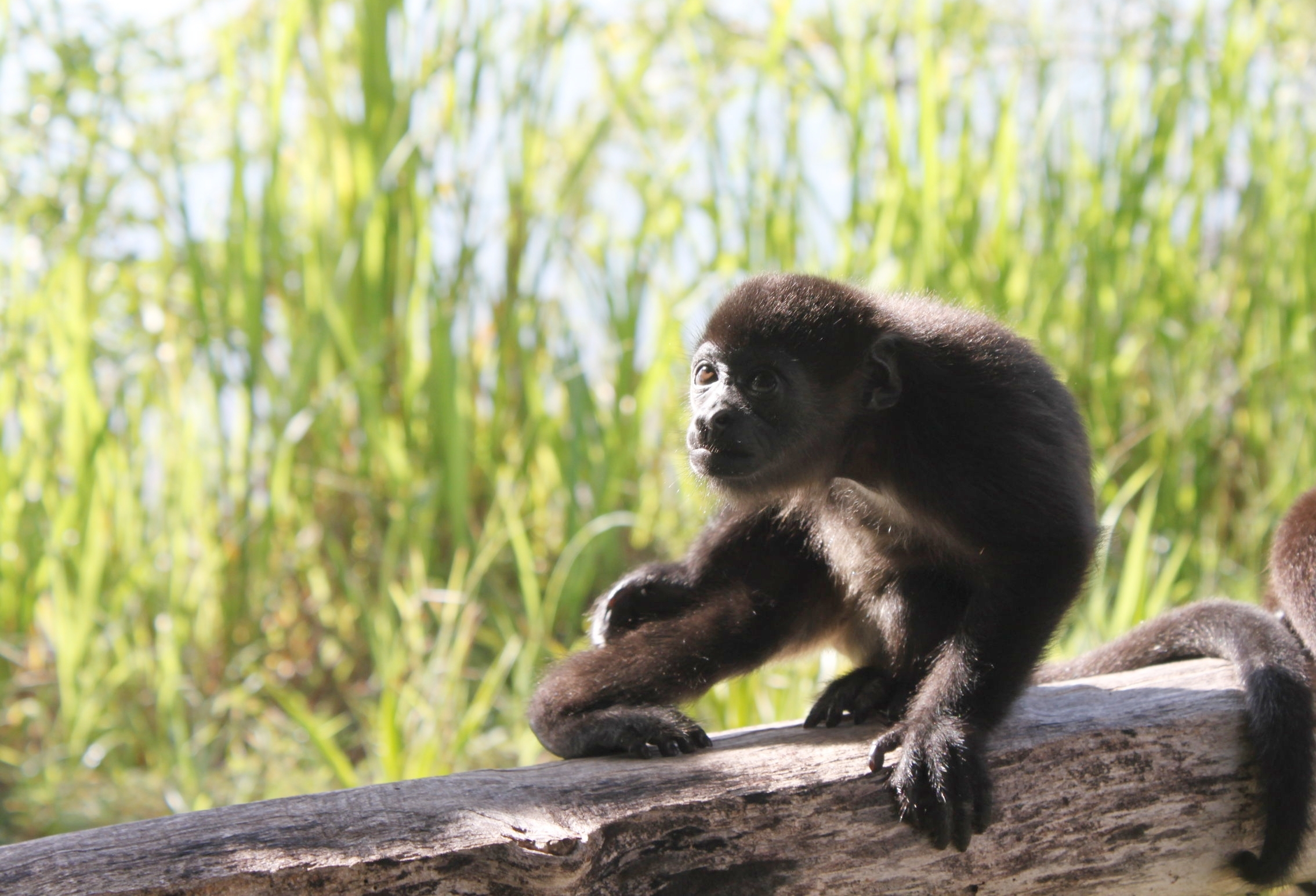 Infant Mantled Howler Monkey: Atlas