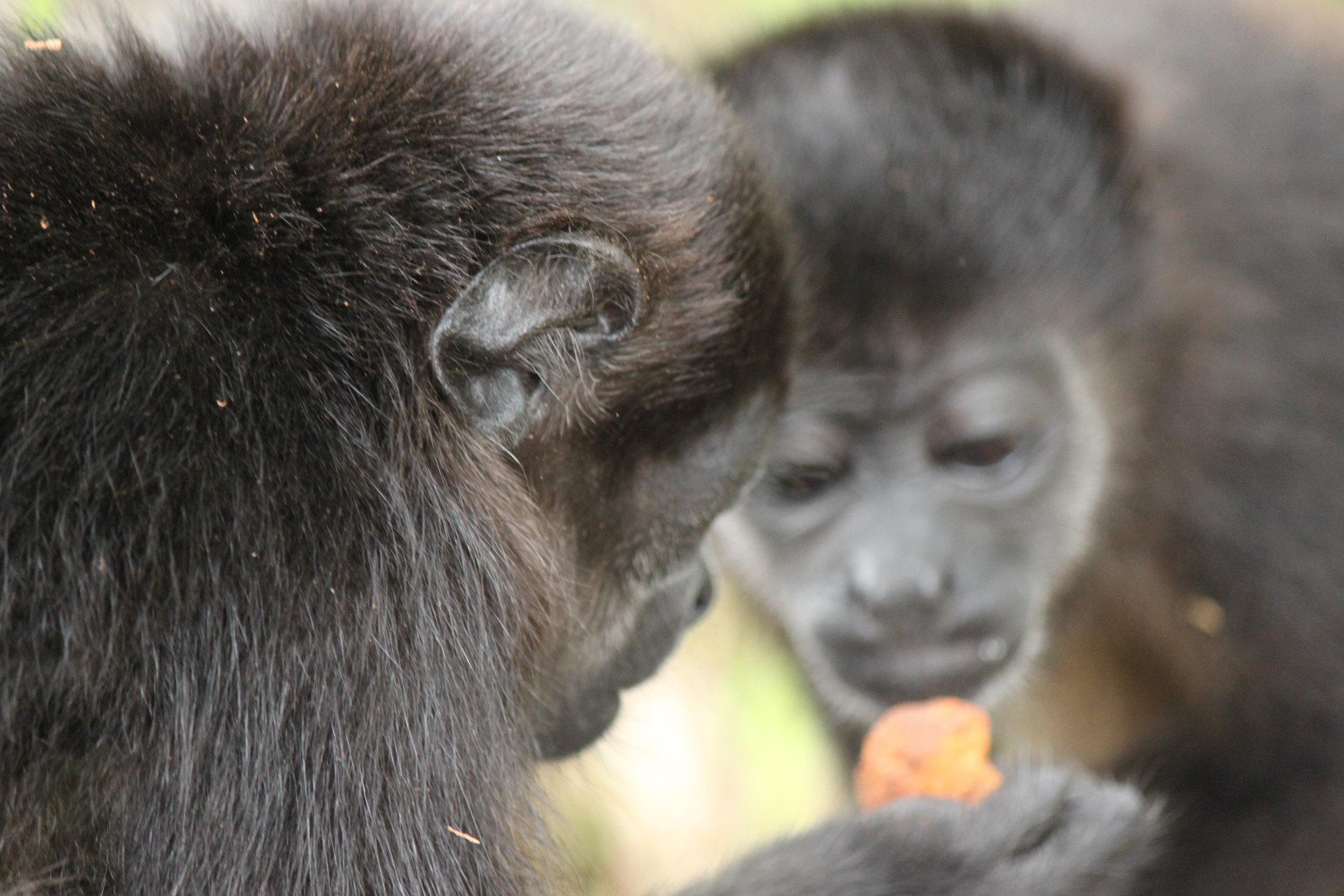 Infant Mantled Howler Monkeys: Atlas & Cheeto